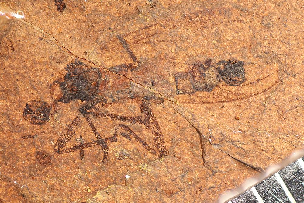 http://mczbase.mcz.harvard.edu/specimen_images/entomology/paleo/large/PALE-14165_Bibionidae.jpg