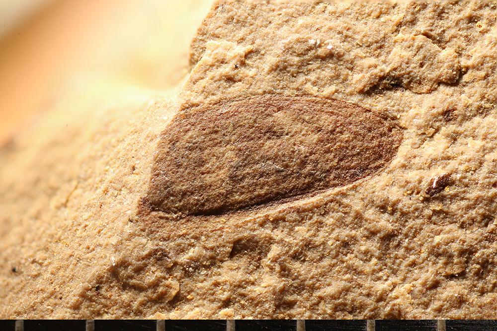 http://mczbase.mcz.harvard.edu/specimen_images/entomology/paleo/large/PALE-14173_Coleoptera.jpg