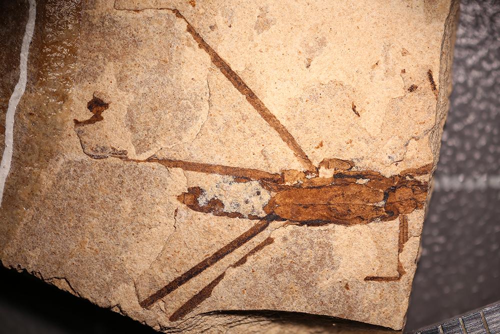 http://mczbase.mcz.harvard.edu/specimen_images/entomology/paleo/large/PALE-14175_Gerridae.jpg