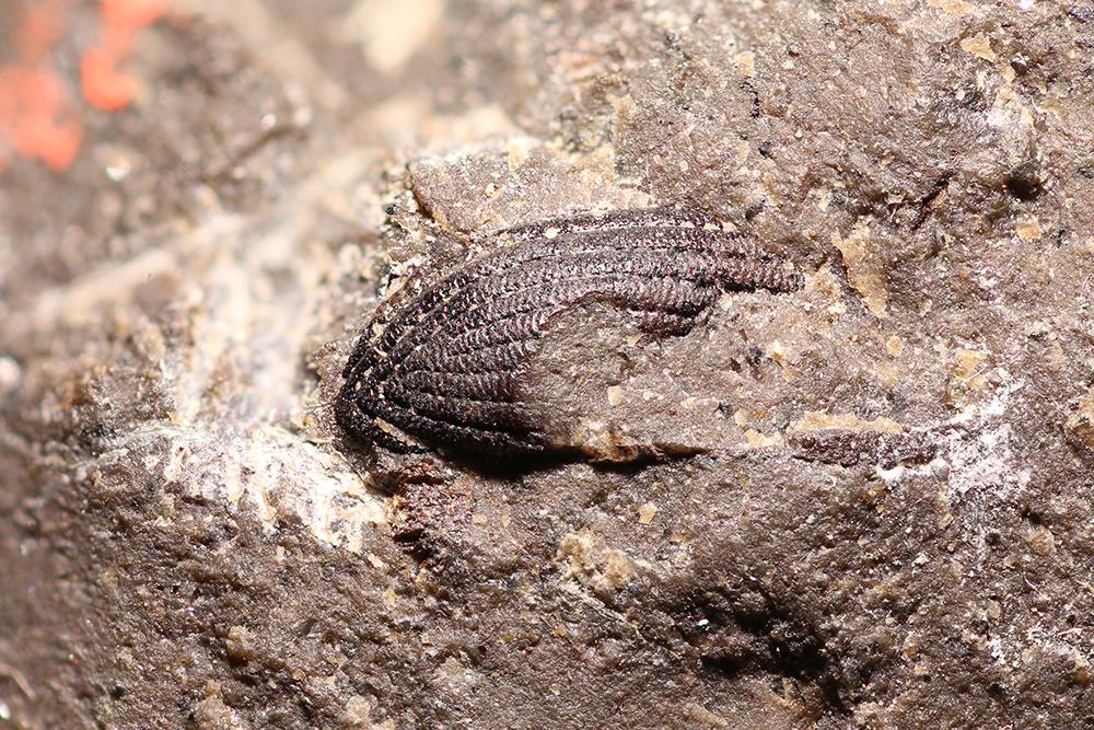http://mczbase.mcz.harvard.edu/specimen_images/entomology/paleo/large/PALE-14176_Coleoptera.jpg