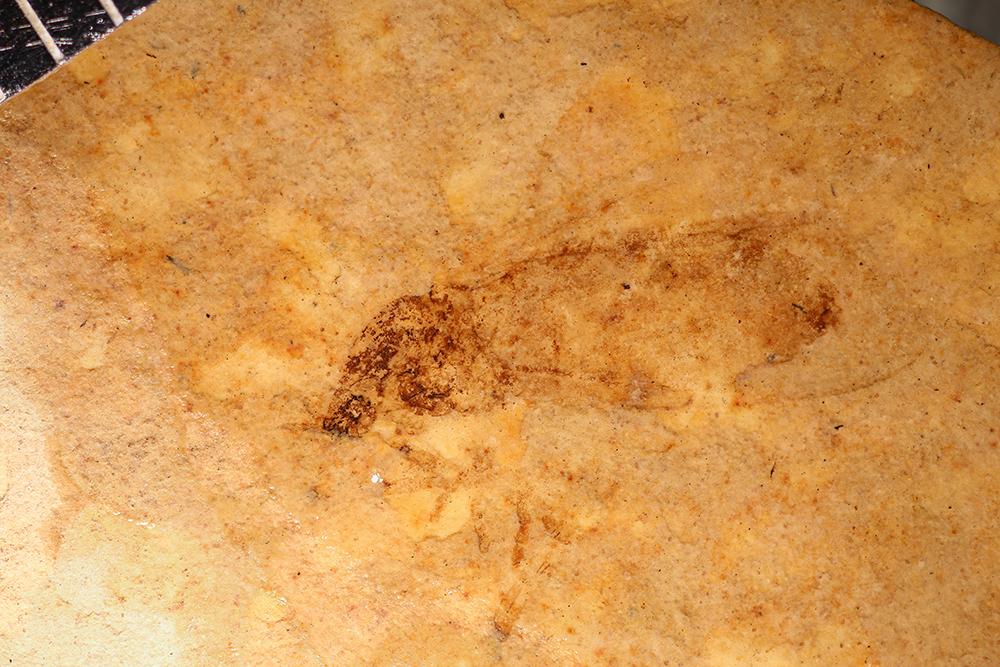 http://mczbase.mcz.harvard.edu/specimen_images/entomology/paleo/large/PALE-14180_Nematocera.jpg