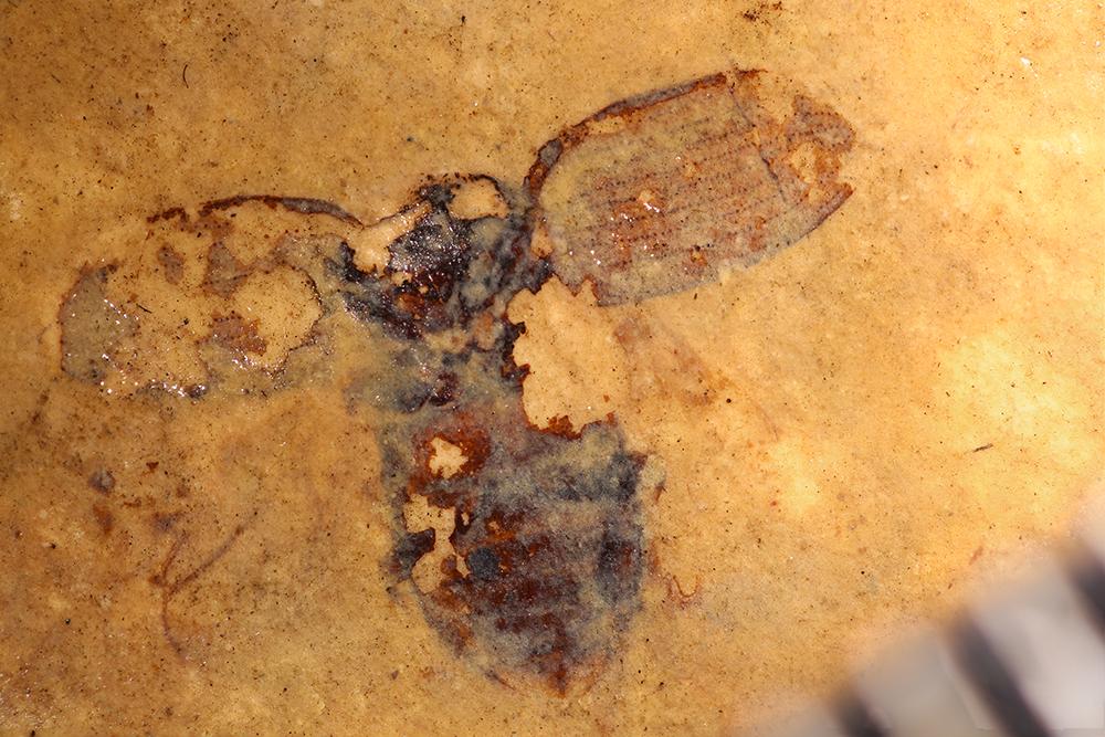 http://mczbase.mcz.harvard.edu/specimen_images/entomology/paleo/large/PALE-14181_Coleoptera.jpg