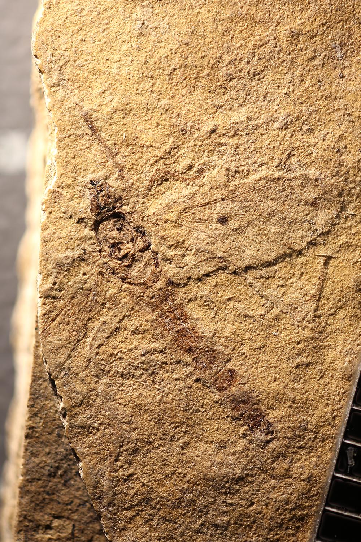 http://mczbase.mcz.harvard.edu/specimen_images/entomology/paleo/large/PALE-14186_Bibionidae_1.jpg