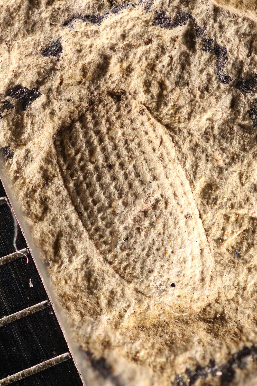 http://mczbase.mcz.harvard.edu/specimen_images/entomology/paleo/large/PALE-14192_Coleoptera.jpg