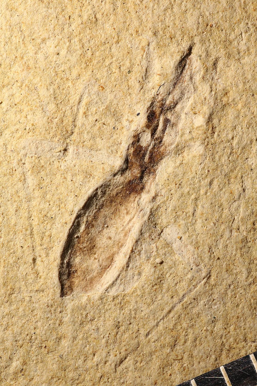 http://mczbase.mcz.harvard.edu/specimen_images/entomology/paleo/large/PALE-14211_Arthropoda.jpg