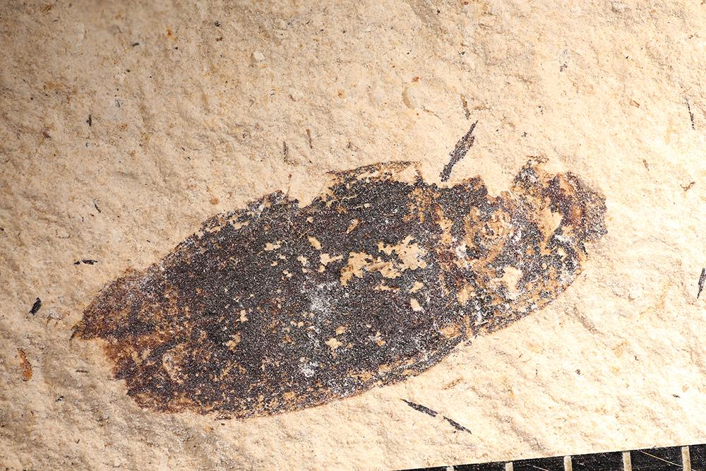 http://mczbase.mcz.harvard.edu/specimen_images/entomology/paleo/large/PALE-14212_Coleoptera.jpg