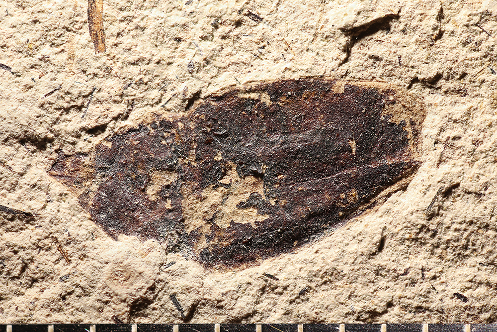 http://mczbase.mcz.harvard.edu/specimen_images/entomology/paleo/large/PALE-14213_Larinus_sp.jpg