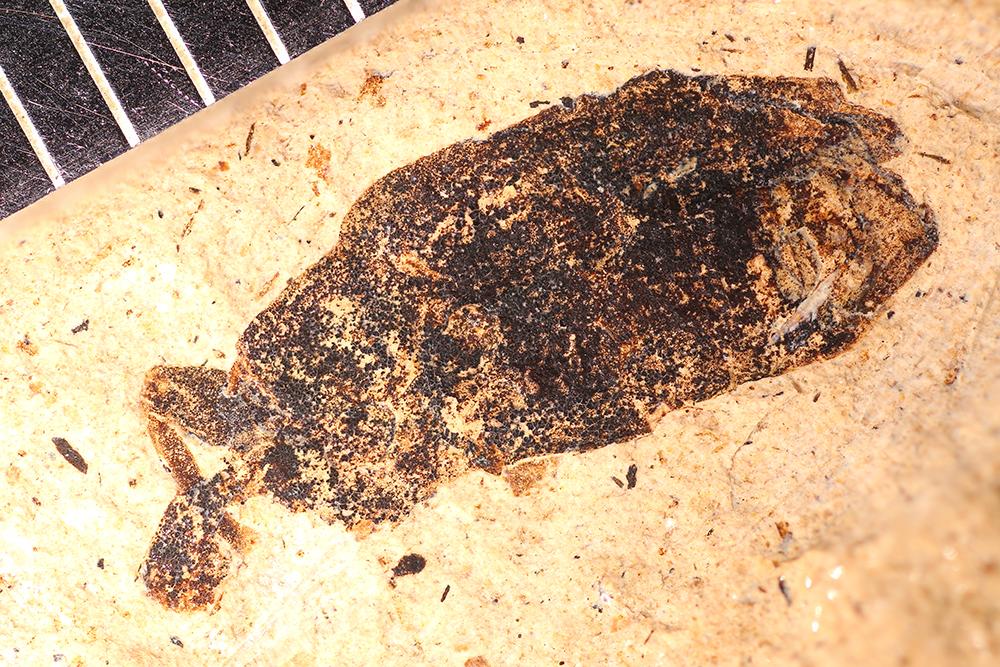 http://mczbase.mcz.harvard.edu/specimen_images/entomology/paleo/large/PALE-14219_Curculionoidea_qm.jpg