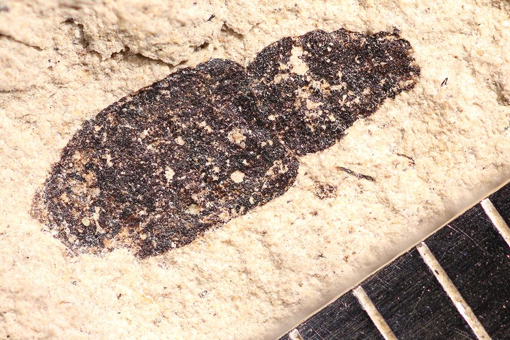 http://mczbase.mcz.harvard.edu/specimen_images/entomology/paleo/large/PALE-14220_Coleoptera.jpg