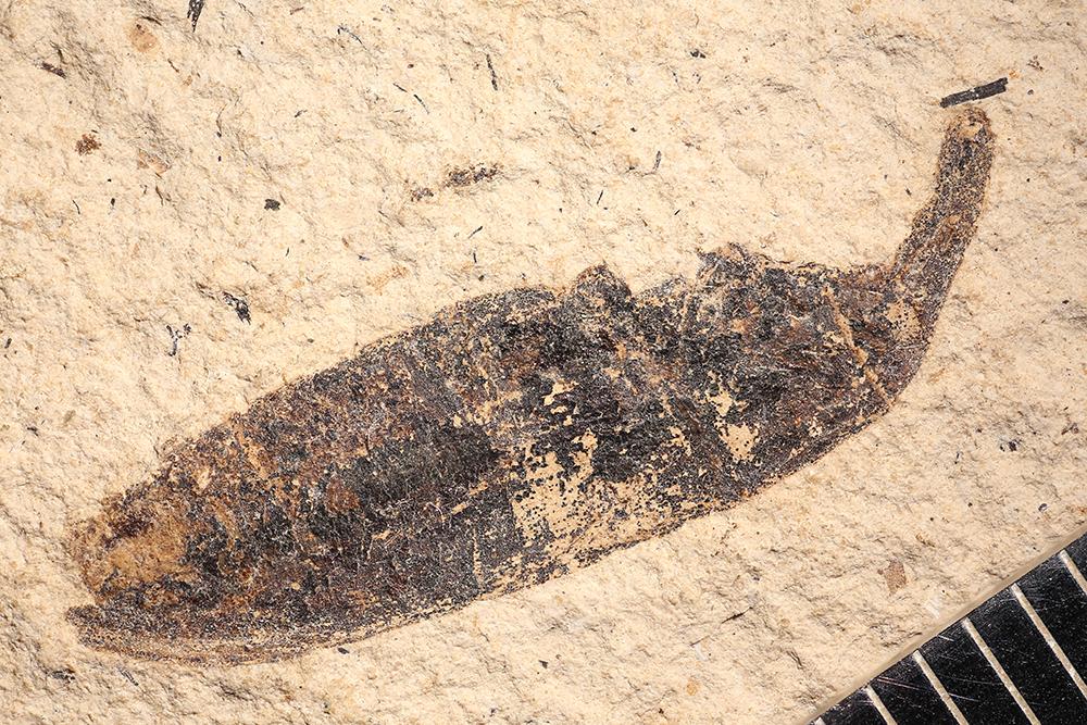 http://mczbase.mcz.harvard.edu/specimen_images/entomology/paleo/large/PALE-14226_Lixus_oeningensis.jpg
