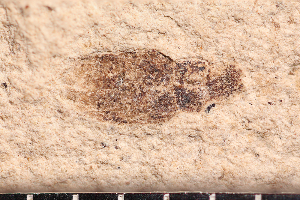 http://mczbase.mcz.harvard.edu/specimen_images/entomology/paleo/large/PALE-14232_Sitona_sp.jpg