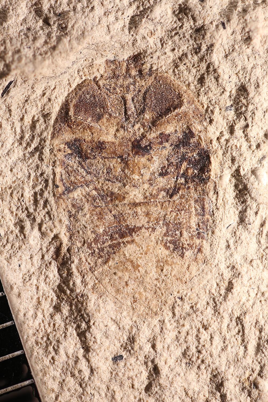 http://mczbase.mcz.harvard.edu/specimen_images/entomology/paleo/large/PALE-14239_Hemiptera.jpg