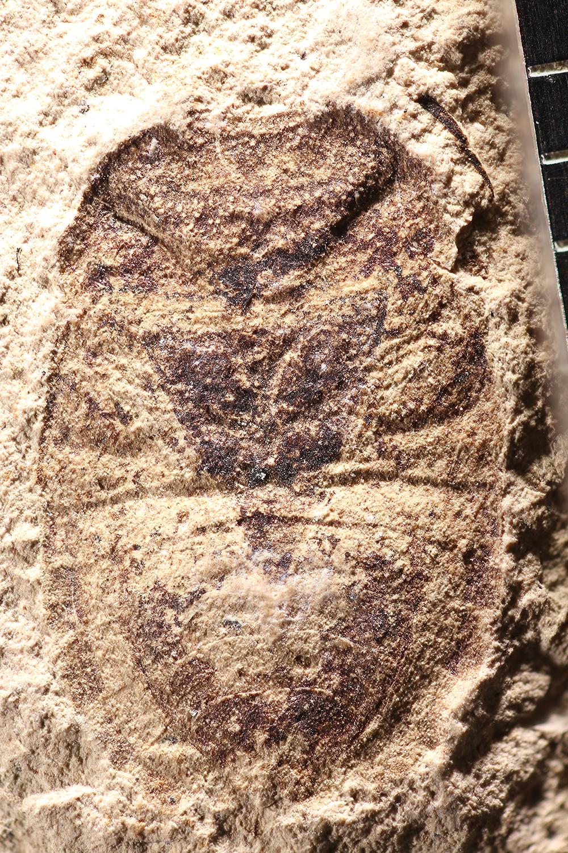 http://mczbase.mcz.harvard.edu/specimen_images/entomology/paleo/large/PALE-14243_Hemiptera_1.jpg