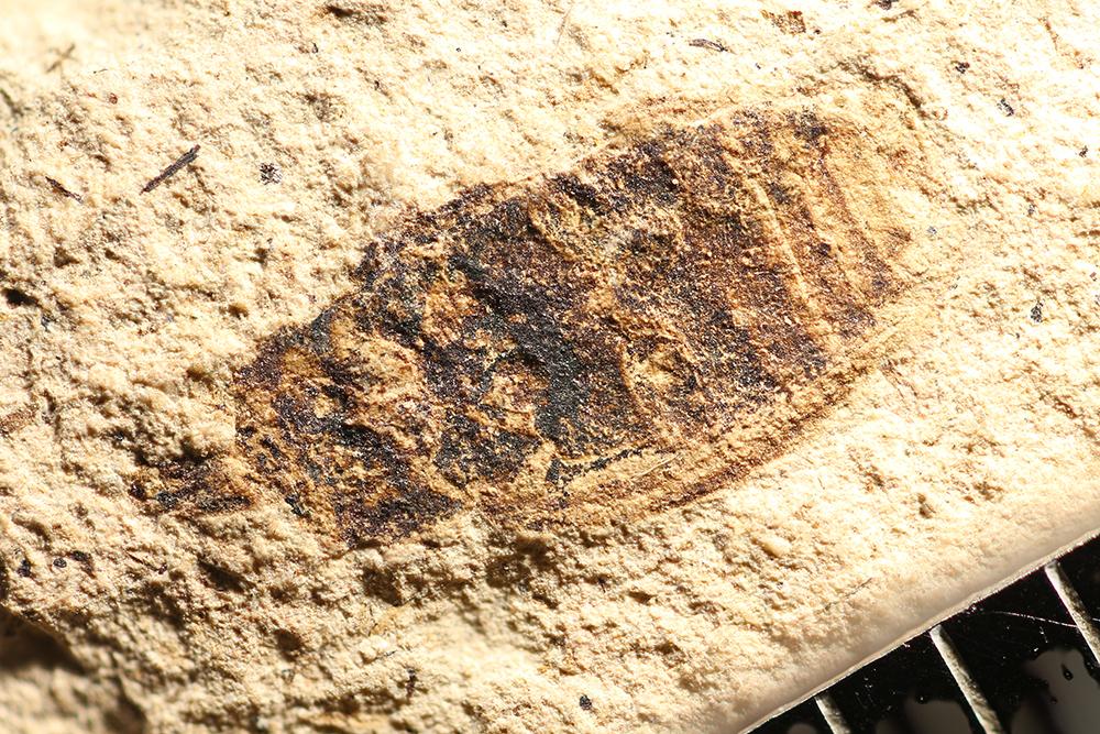 http://mczbase.mcz.harvard.edu/specimen_images/entomology/paleo/large/PALE-14244_Curculionidae.jpg