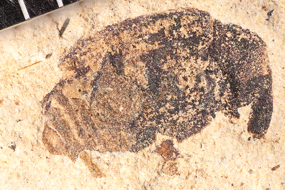 http://mczbase.mcz.harvard.edu/specimen_images/entomology/paleo/large/PALE-14245_Cionus_sp.jpg
