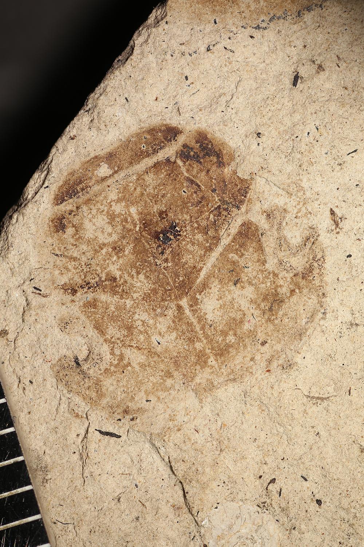 http://mczbase.mcz.harvard.edu/specimen_images/entomology/paleo/large/PALE-14246_Hydrophilus_giganteus.jpg