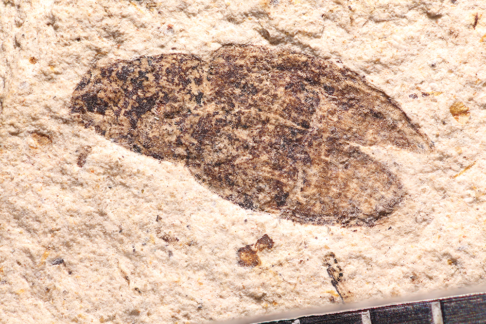 http://mczbase.mcz.harvard.edu/specimen_images/entomology/paleo/large/PALE-14248_Sitona_atavina_2.jpg