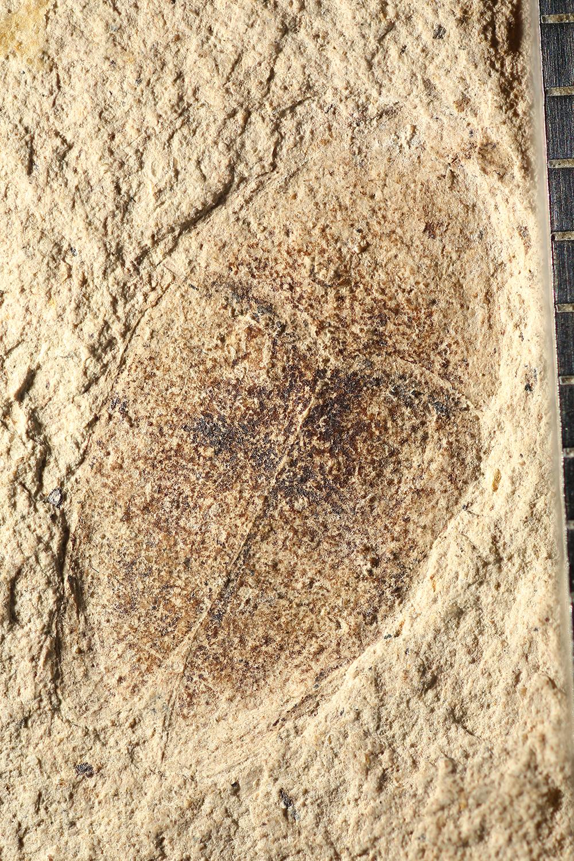 http://mczbase.mcz.harvard.edu/specimen_images/entomology/paleo/large/PALE-14250_Larinus_ovalis.jpg
