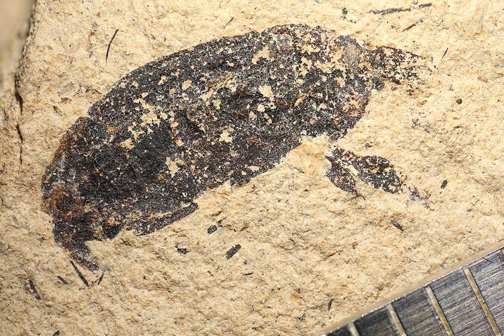 http://mczbase.mcz.harvard.edu/specimen_images/entomology/paleo/large/PALE-14252_Hipporhinus_sp.jpg