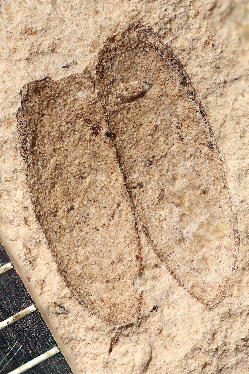 http://mczbase.mcz.harvard.edu/specimen_images/entomology/paleo/large/PALE-14278_Oreina_sp.jpg
