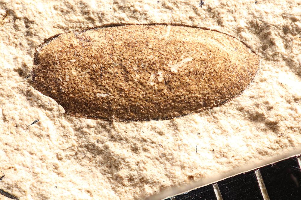 http://mczbase.mcz.harvard.edu/specimen_images/entomology/paleo/large/PALE-14281_Gonioctena_clymene.jpg