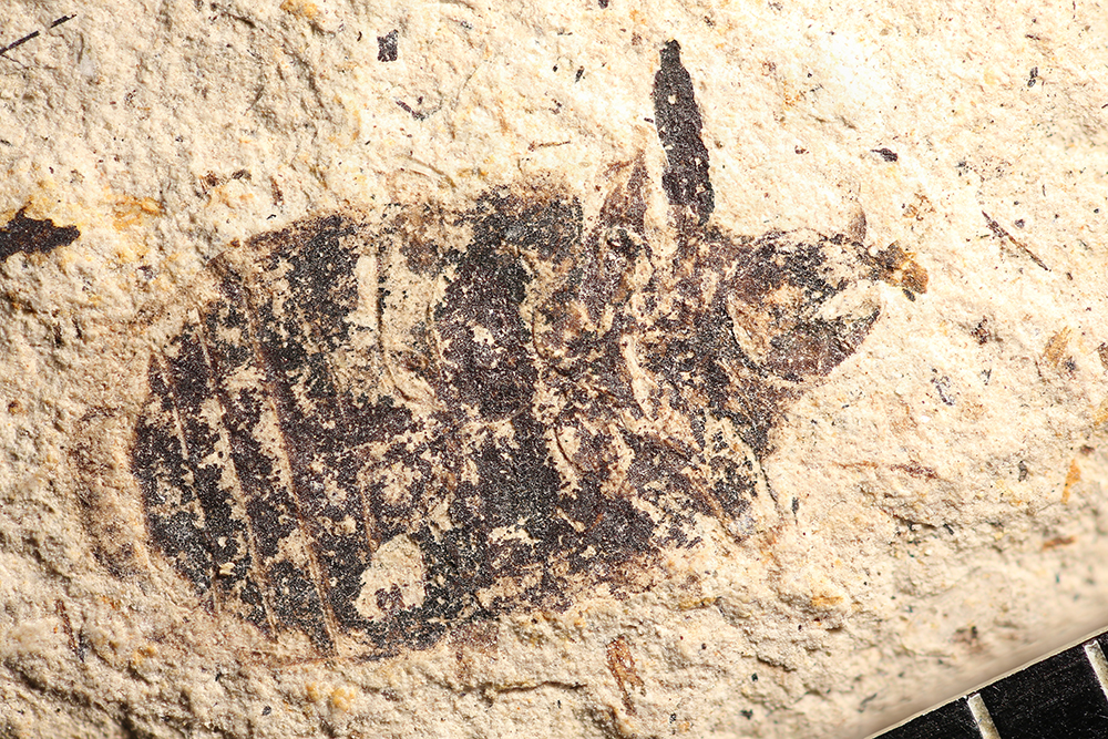 http://mczbase.mcz.harvard.edu/specimen_images/entomology/paleo/large/PALE-14282_Coleoptera_qm.jpg