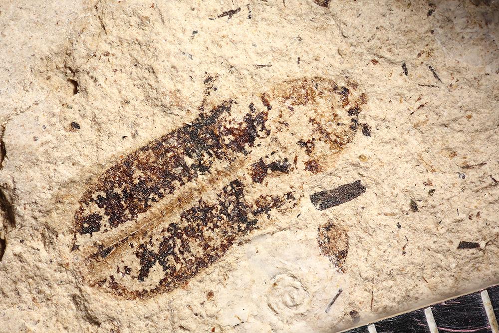 http://mczbase.mcz.harvard.edu/specimen_images/entomology/paleo/large/PALE-14283_Anoplites_sp.jpg