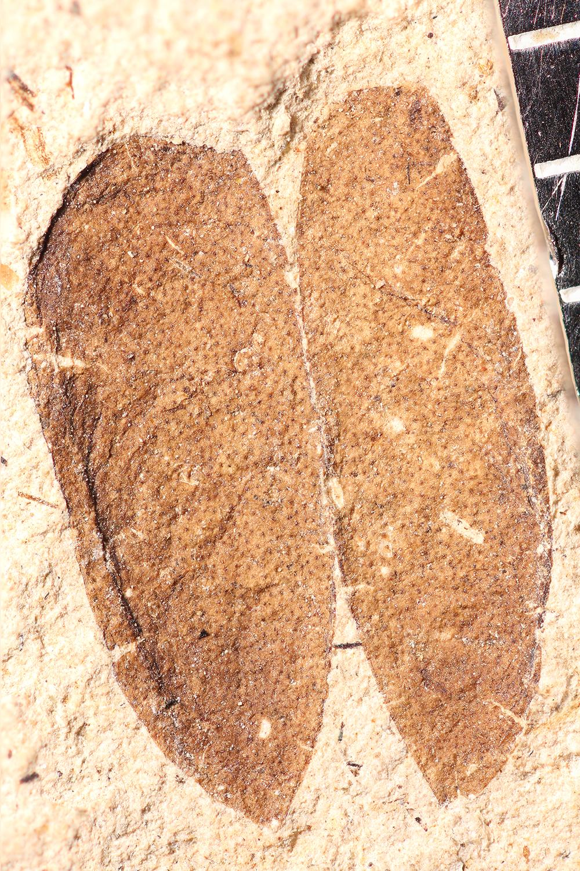 http://mczbase.mcz.harvard.edu/specimen_images/entomology/paleo/large/PALE-14284_Oreina_sp.jpg