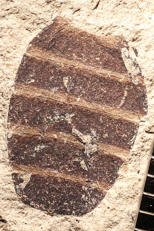 http://mczbase.mcz.harvard.edu/specimen_images/entomology/paleo/large/PALE-14286_Lytta_aesculapii_3.jpg