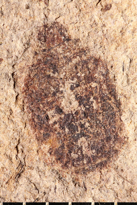 http://mczbase.mcz.harvard.edu/specimen_images/entomology/paleo/large/PALE-14294_Coleoptera.jpg