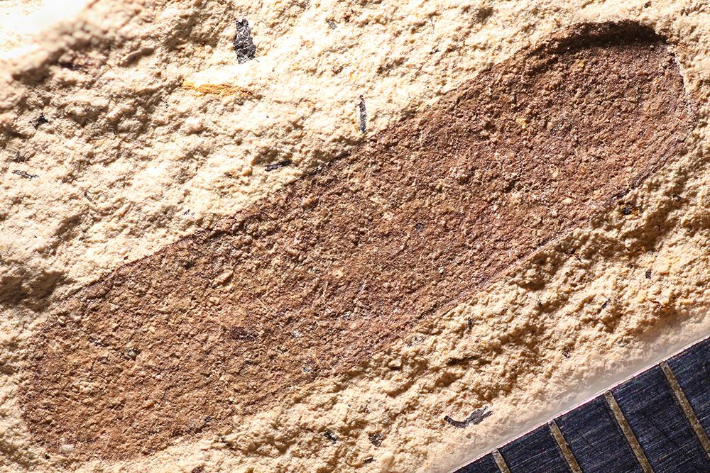http://mczbase.mcz.harvard.edu/specimen_images/entomology/paleo/large/PALE-14309_Lytta_aesculapii.jpg
