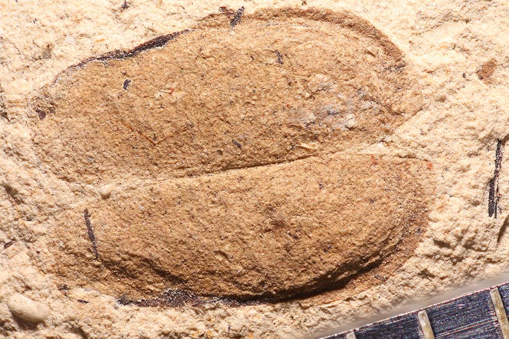 http://mczbase.mcz.harvard.edu/specimen_images/entomology/paleo/large/PALE-14316_Gonioctena_japeti.jpg