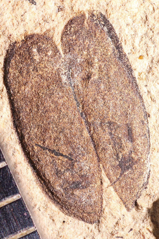 http://mczbase.mcz.harvard.edu/specimen_images/entomology/paleo/large/PALE-14319_Lina_populeti.jpg