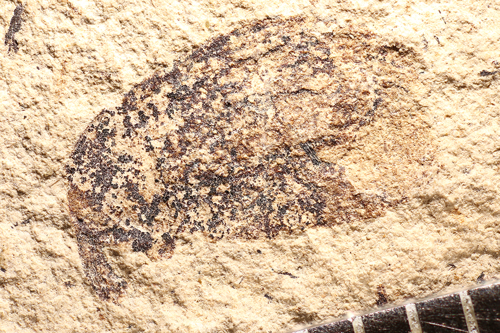 http://mczbase.mcz.harvard.edu/specimen_images/entomology/paleo/large/PALE-14329_Cionus_sp.jpg
