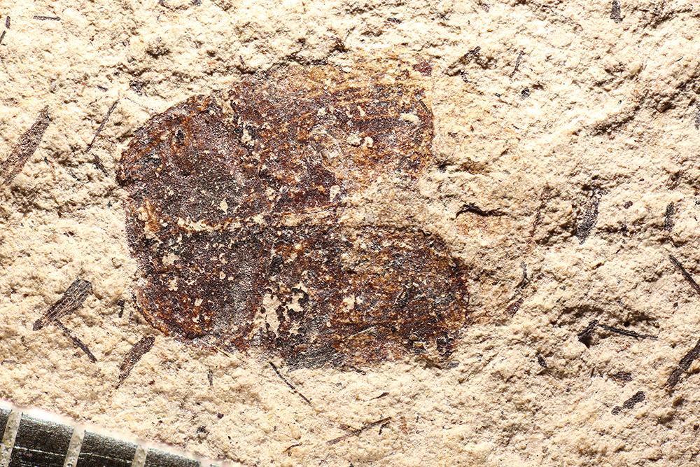 http://mczbase.mcz.harvard.edu/specimen_images/entomology/paleo/large/PALE-14335_Hister_sp_2.jpg