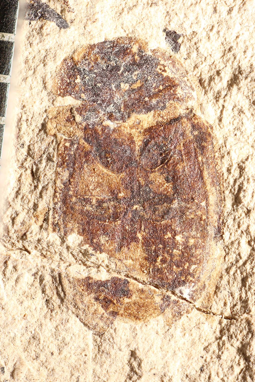 http://mczbase.mcz.harvard.edu/specimen_images/entomology/paleo/large/PALE-14337_Nitidula_aethiops_2.jpg