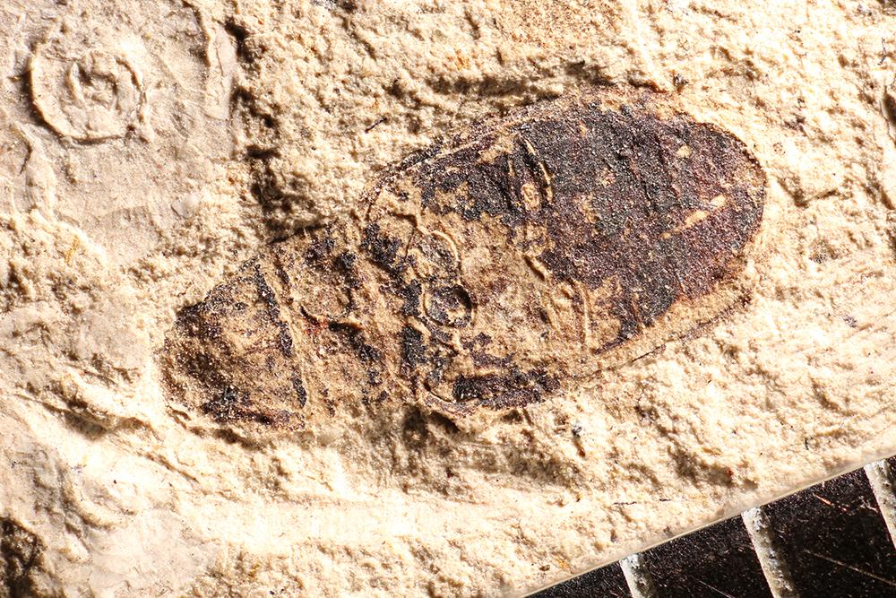 http://mczbase.mcz.harvard.edu/specimen_images/entomology/paleo/large/PALE-14343_Sitona_atavina.jpg