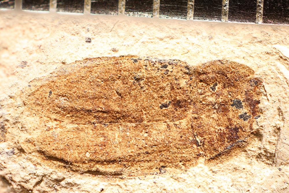 http://mczbase.mcz.harvard.edu/specimen_images/entomology/paleo/large/PALE-14351_Nitidula_pallida.jpg