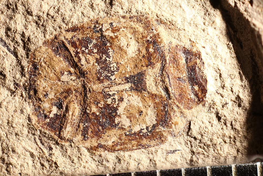 http://mczbase.mcz.harvard.edu/specimen_images/entomology/paleo/large/PALE-14352_Hister_maculigerus.jpg