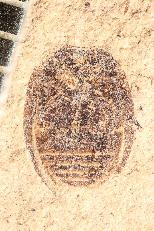 http://mczbase.mcz.harvard.edu/specimen_images/entomology/paleo/large/PALE-14358_Coccinella_obscura.jpg