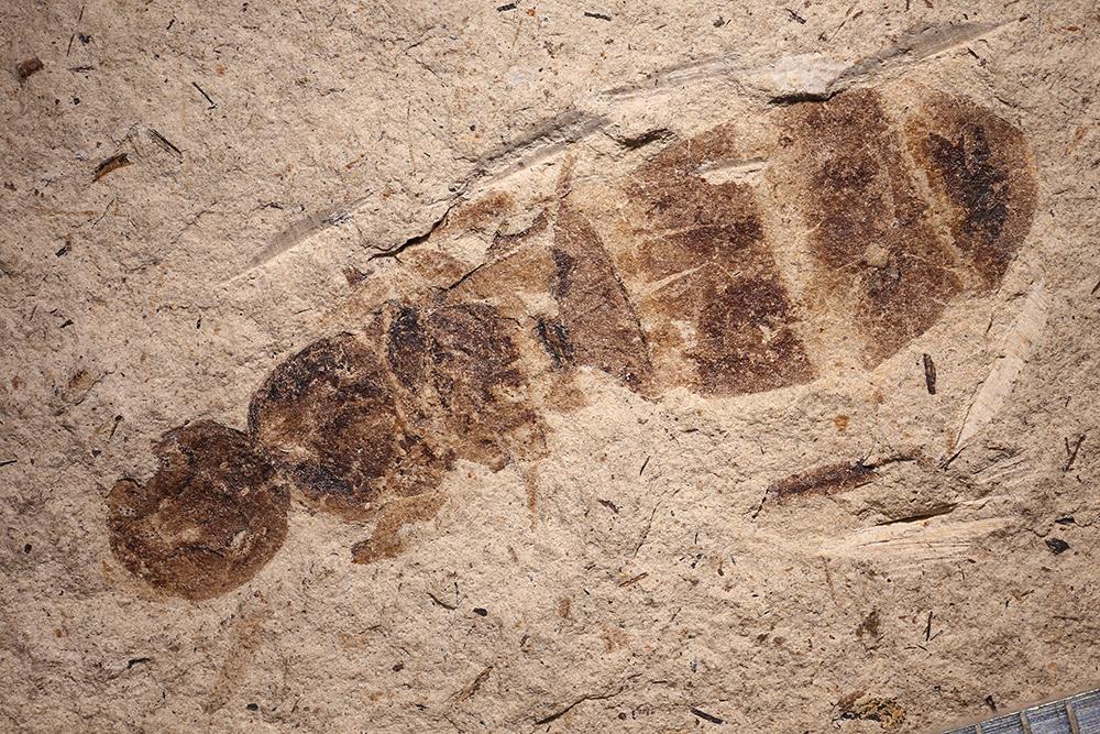 http://mczbase.mcz.harvard.edu/specimen_images/entomology/paleo/large/PALE-14361_Formica_procera.jpg