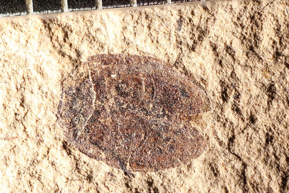 http://mczbase.mcz.harvard.edu/specimen_images/entomology/paleo/large/PALE-14362_Coccinella_obscura.jpg