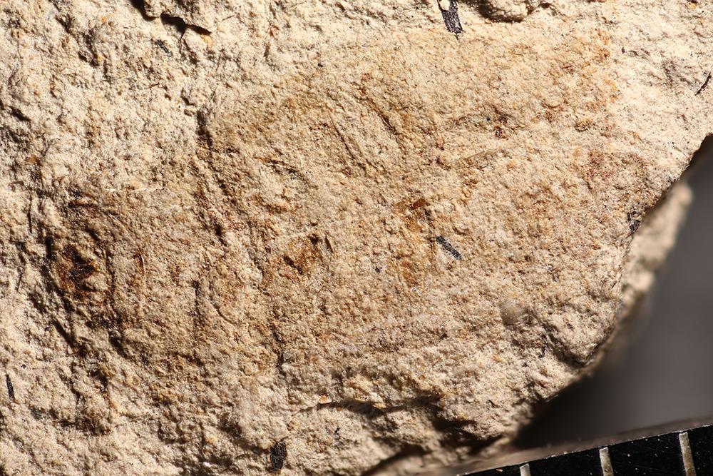 http://mczbase.mcz.harvard.edu/specimen_images/entomology/paleo/large/PALE-14363_Nitidula_pallida_2.jpg