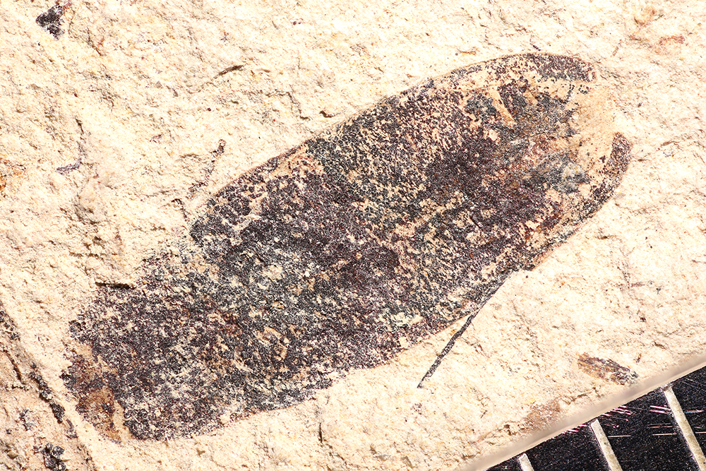 http://mczbase.mcz.harvard.edu/specimen_images/entomology/paleo/large/PALE-14369_Cleonus_sp.jpg