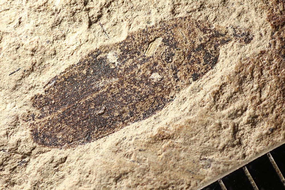 http://mczbase.mcz.harvard.edu/specimen_images/entomology/paleo/large/PALE-14378_Cleonus_sp.jpg