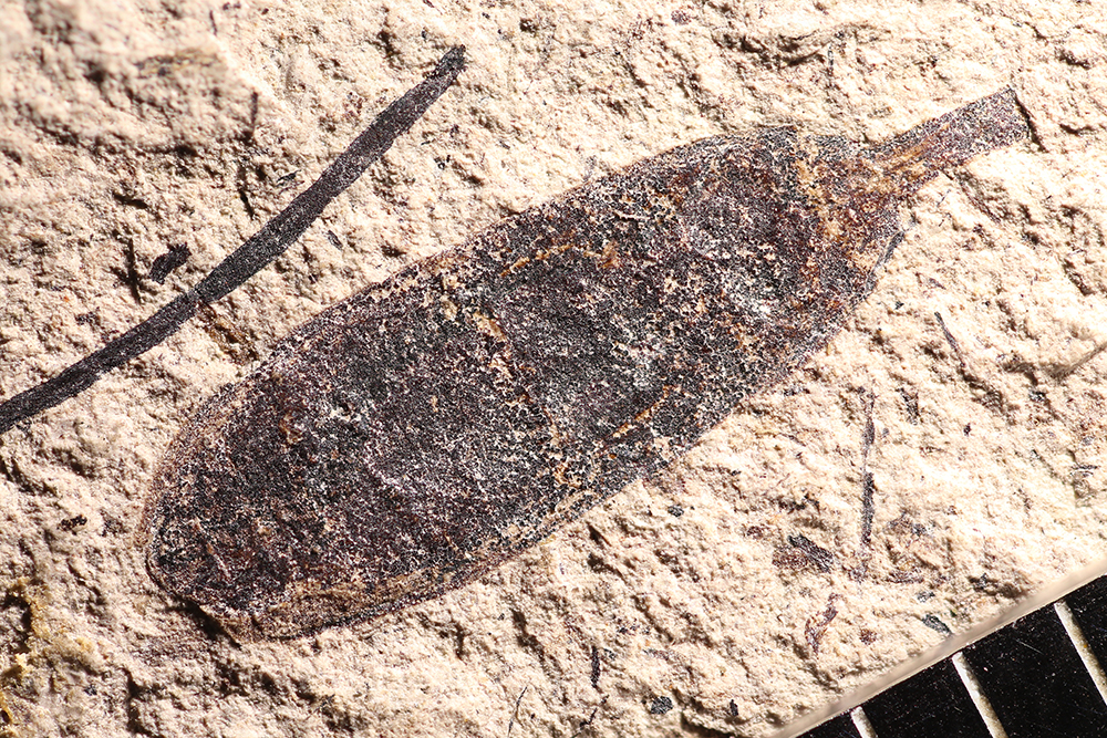 http://mczbase.mcz.harvard.edu/specimen_images/entomology/paleo/large/PALE-14387_Cleonus_sp.jpg