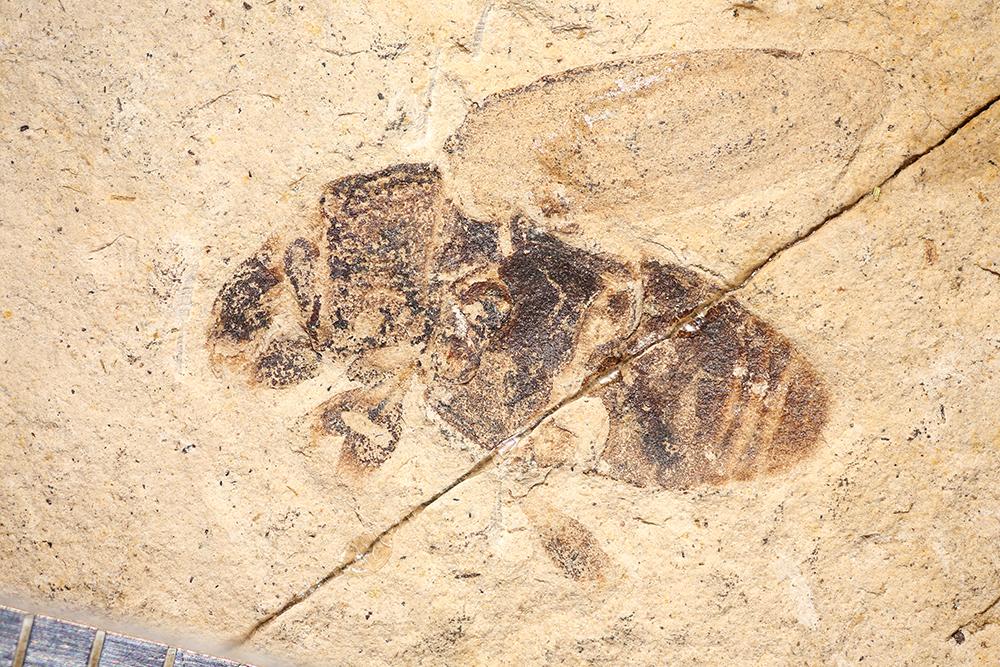 http://mczbase.mcz.harvard.edu/specimen_images/entomology/paleo/large/PALE-14402_Coleoptera_1.jpg