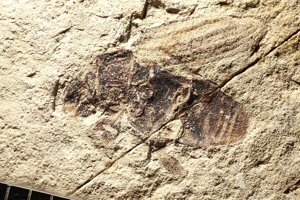http://mczbase.mcz.harvard.edu/specimen_images/entomology/paleo/large/PALE-14402_Coleoptera_2.jpg