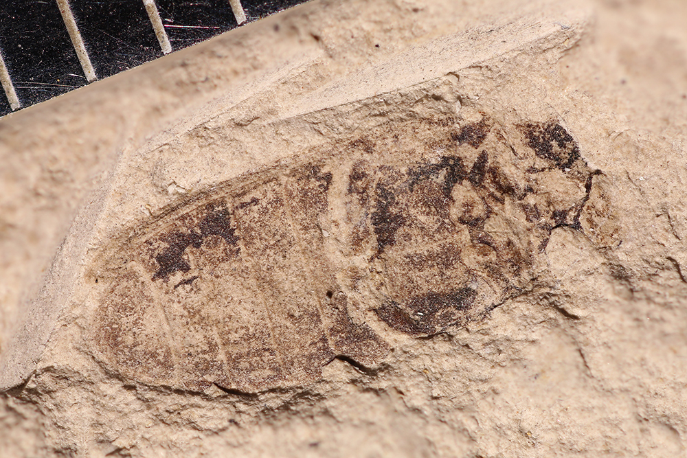 http://mczbase.mcz.harvard.edu/specimen_images/entomology/paleo/large/PALE-14407_Cleonus_sp_1.jpg