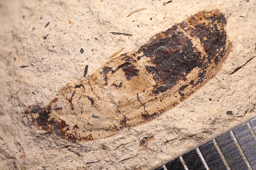 http://mczbase.mcz.harvard.edu/specimen_images/entomology/paleo/large/PALE-14409_Cleonus_sp_1.jpg